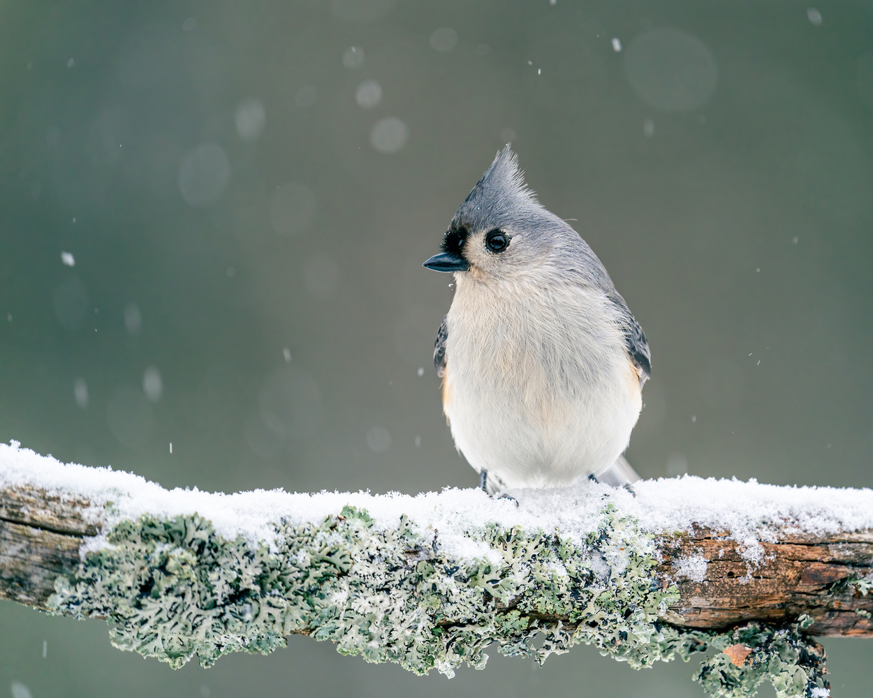 Tufted titmouse by Skyler Ewing