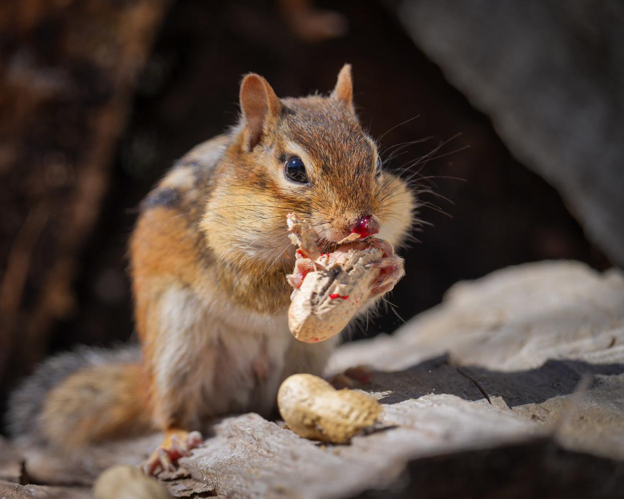Injured chipmunk by Skyler Ewing