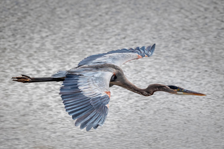 Great Blue Heron by Skyler Ewing