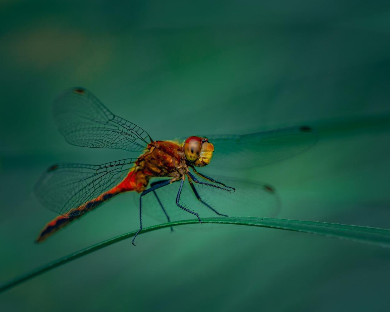 Dragonfly by Skyler Ewing