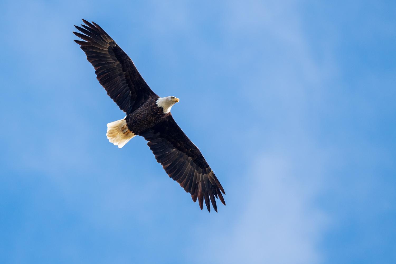 Bald Eagle by Skyler Ewing