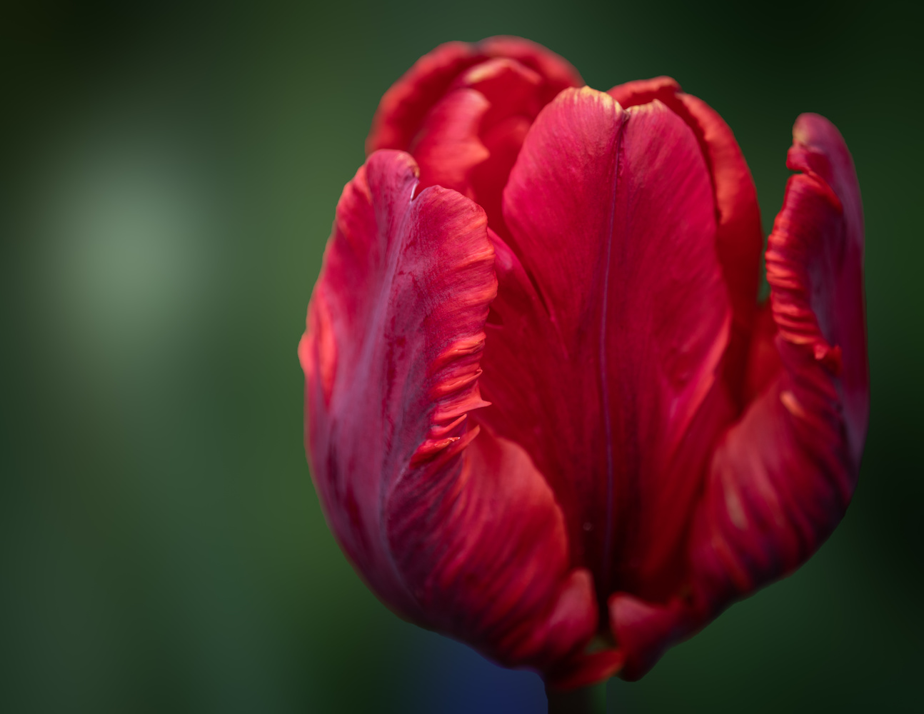 Tulip by Skyler Ewing