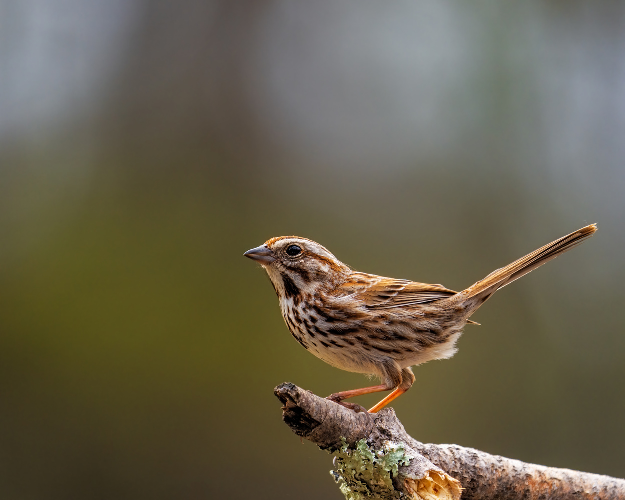 Song Sparrow by Skyler Ewing