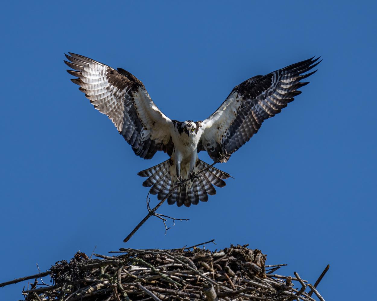 Osprey by Skyler Ewing