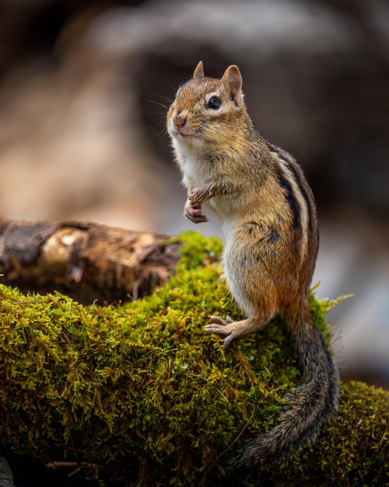 Chipmunk by Skyler Ewing
