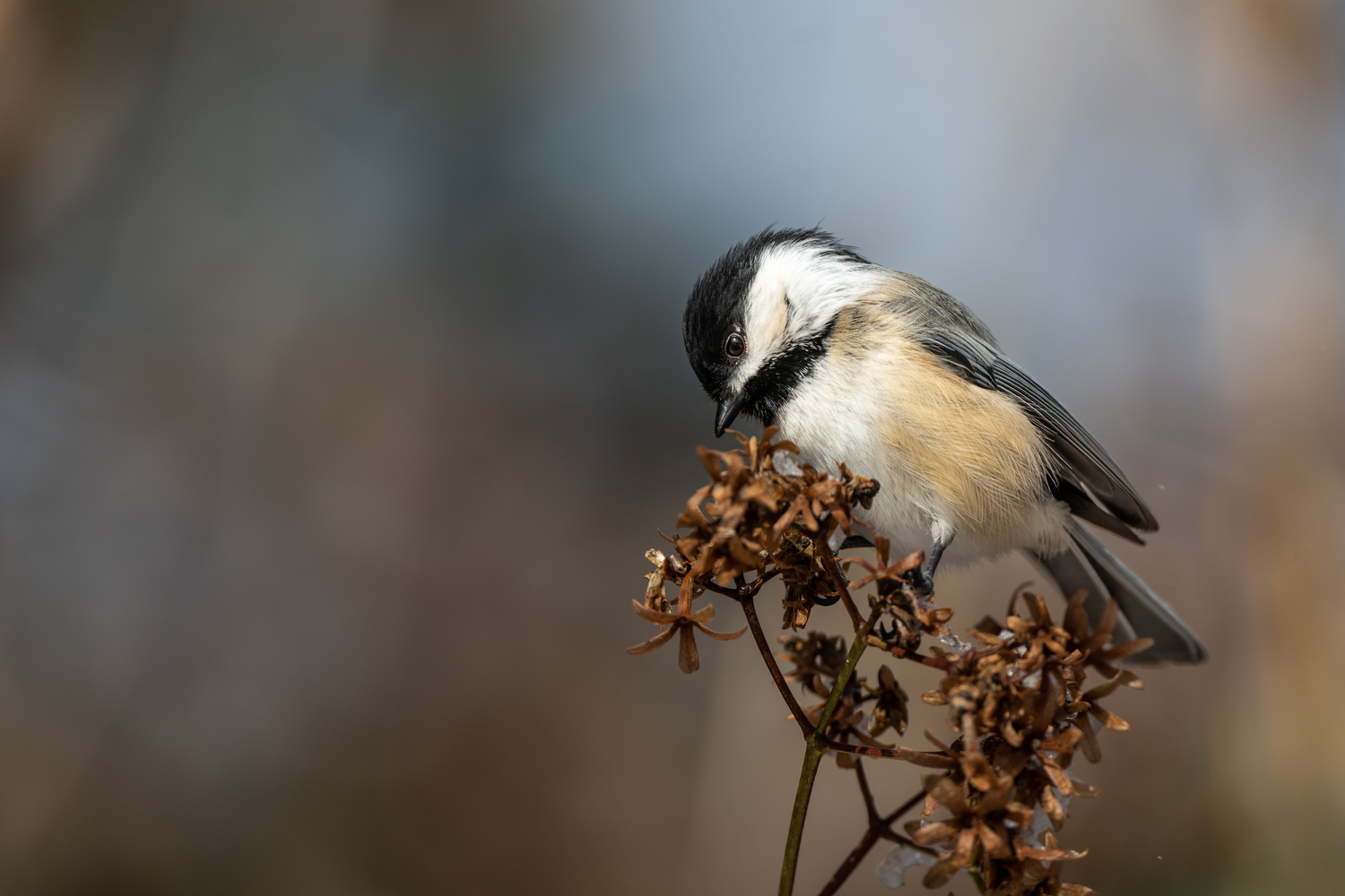 Chickadee by Skyler Ewing