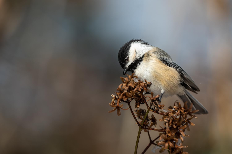 Chickadee by Skyler Ewing