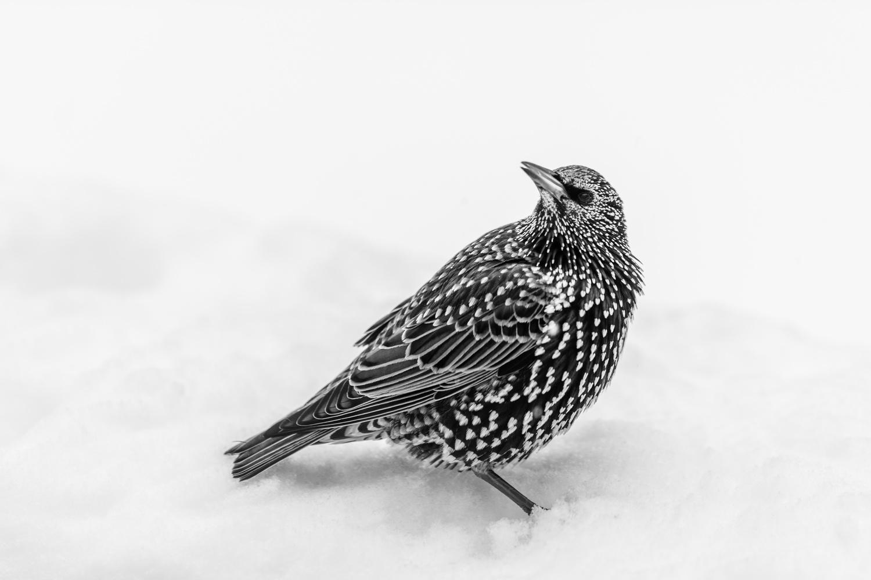 Starling by Skyler Ewing