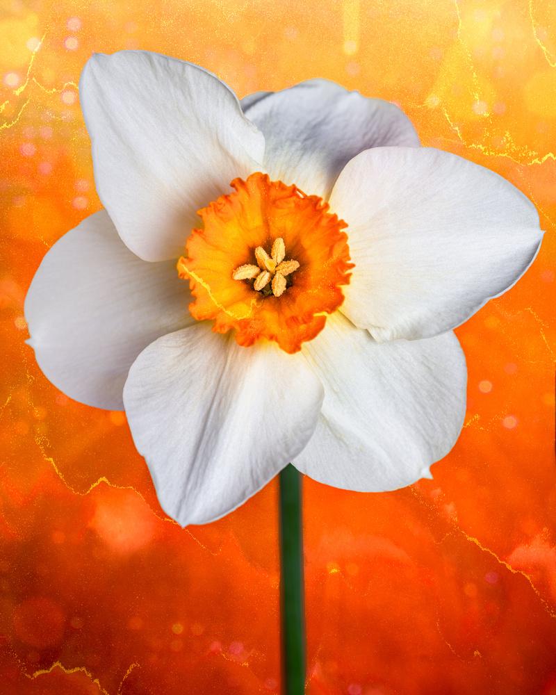 Daffodils by Skyler Ewing