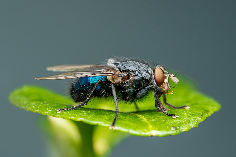 Blue bottlefly by Skyler Ewing