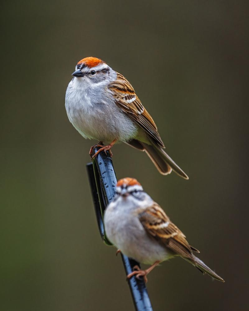 Sparrows by Skyler Ewing