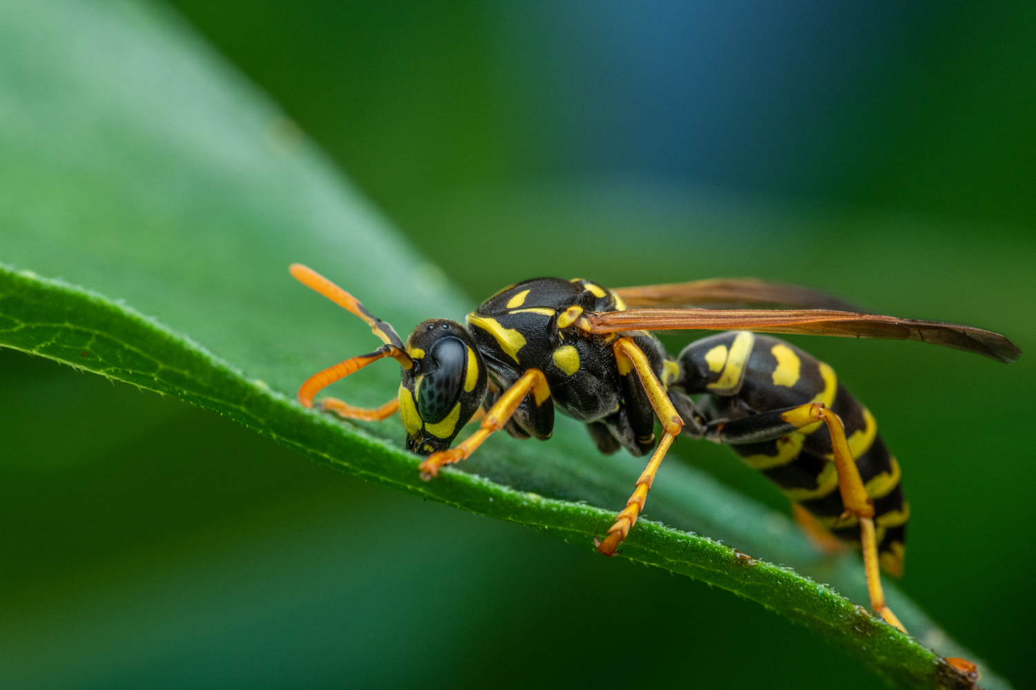 Wasp by Skyler Ewing