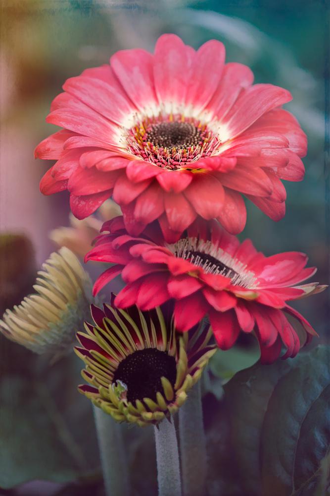 Gerbera daisy by Skyler Ewing