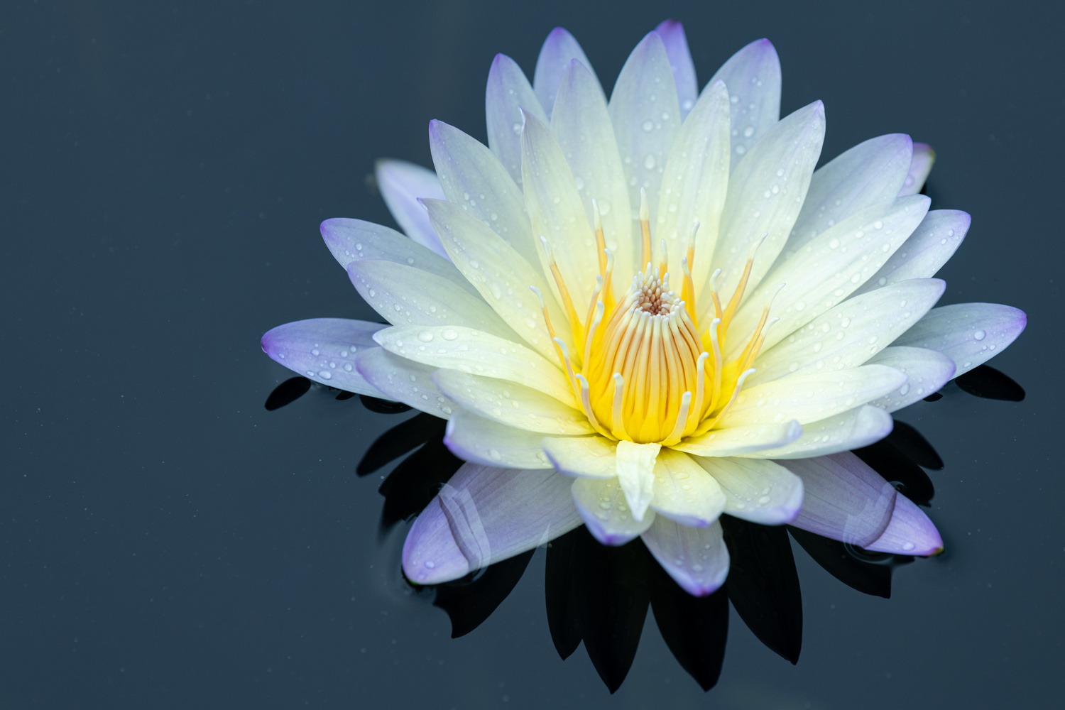 Water lily by Skyler Ewing