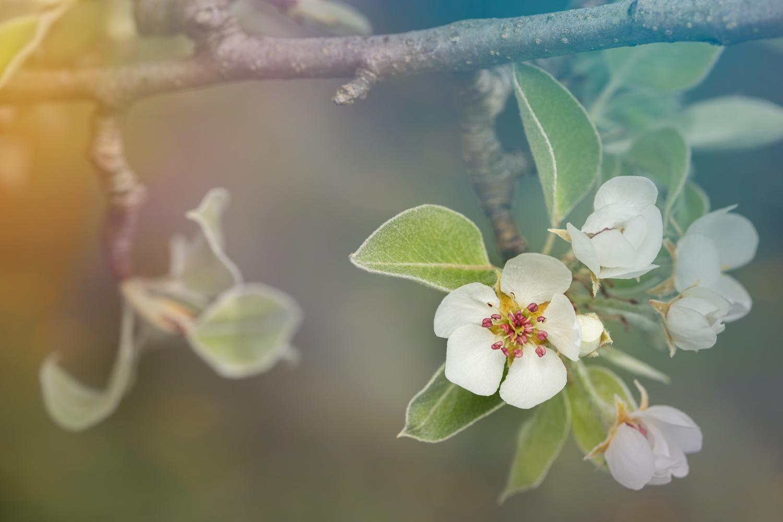 Pear tree flowers by Skyler Ewing