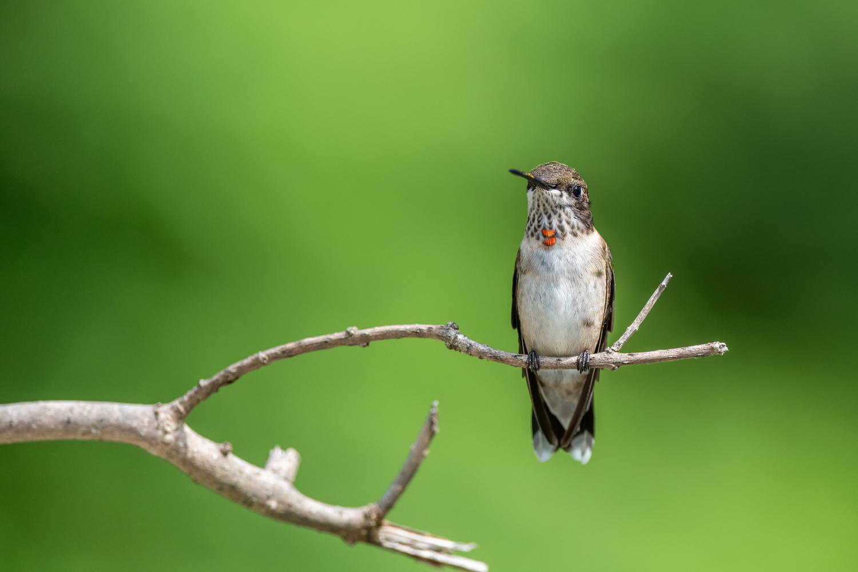 Hummingbird by Skyler Ewing