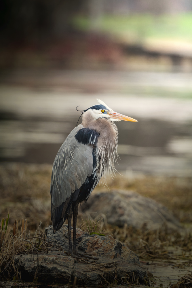 Great blue heron by Skyler Ewing
