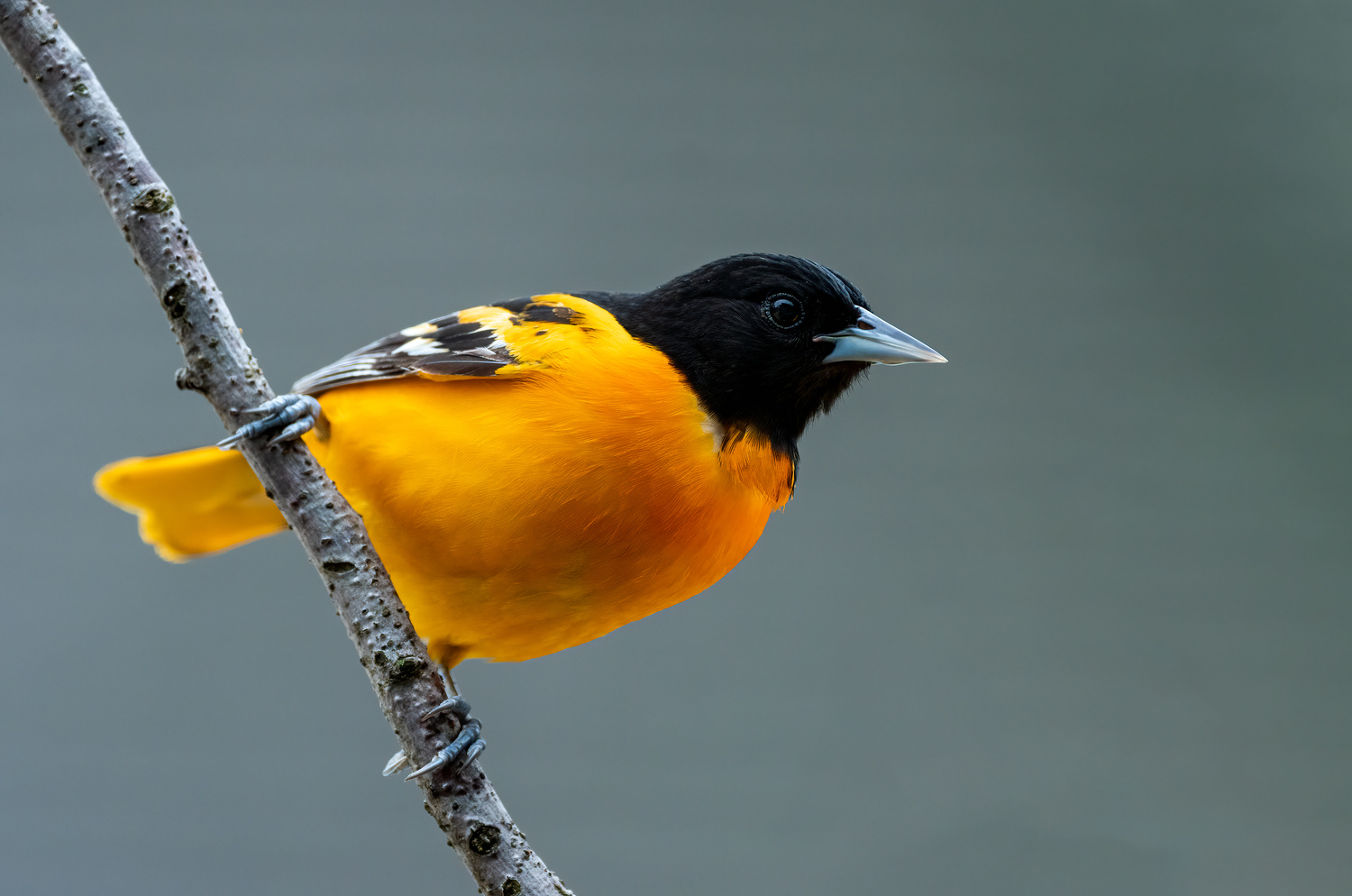 Male Baltimore Oriole by Skyler Ewing