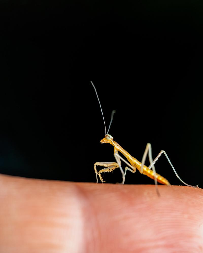 Two hours old praying mantis by Skyler Ewing