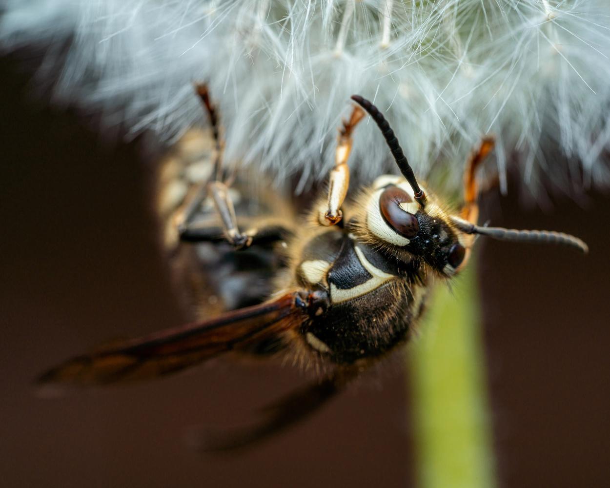 Bald faced hornet by Skyler Ewing