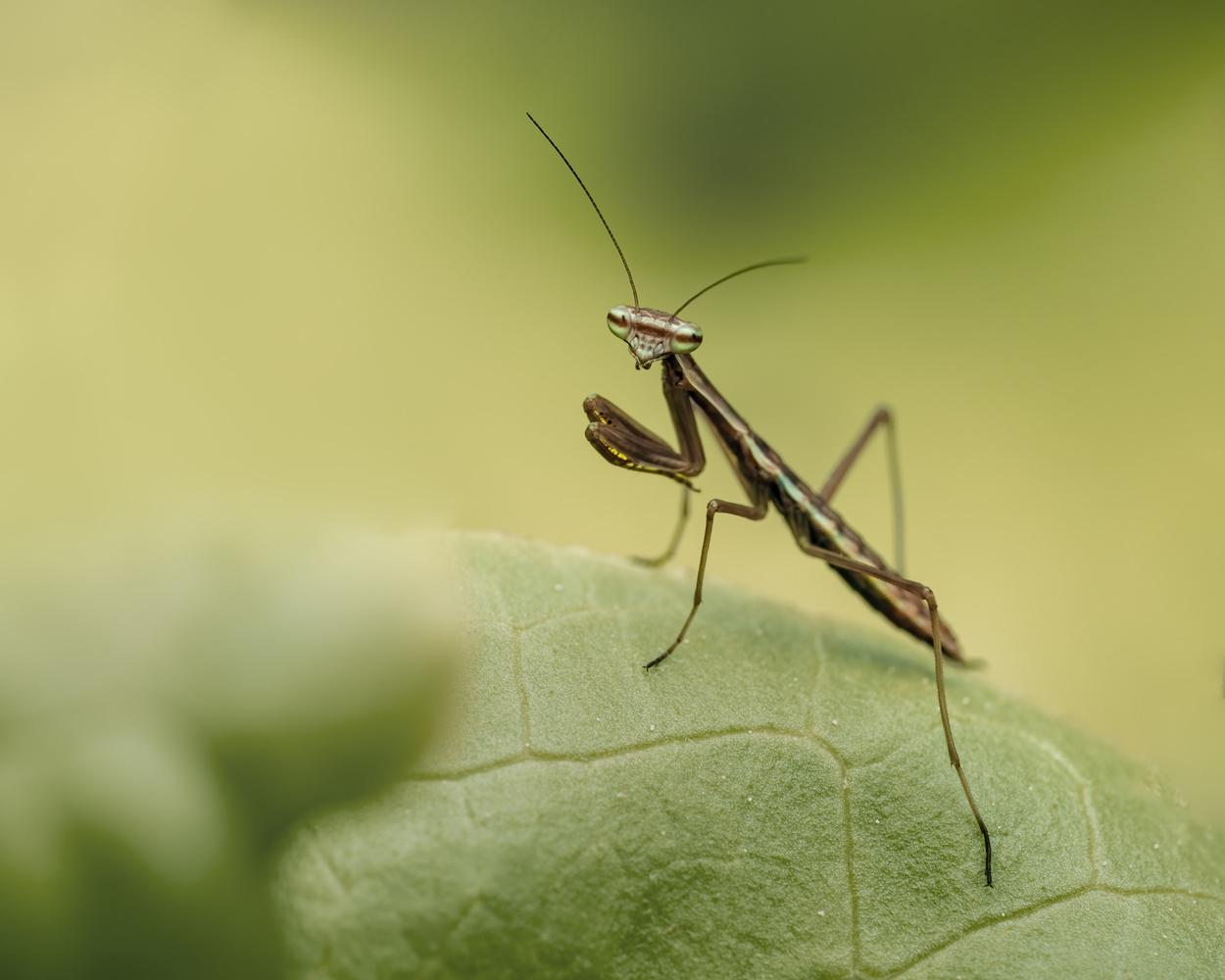 3 days old praying mantis by Skyler Ewing