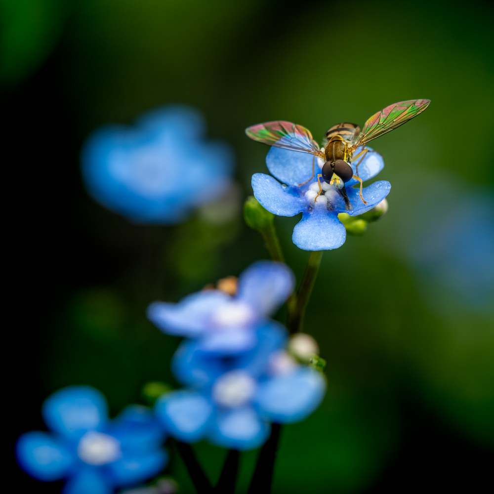 Forget-me-not by Skyler Ewing