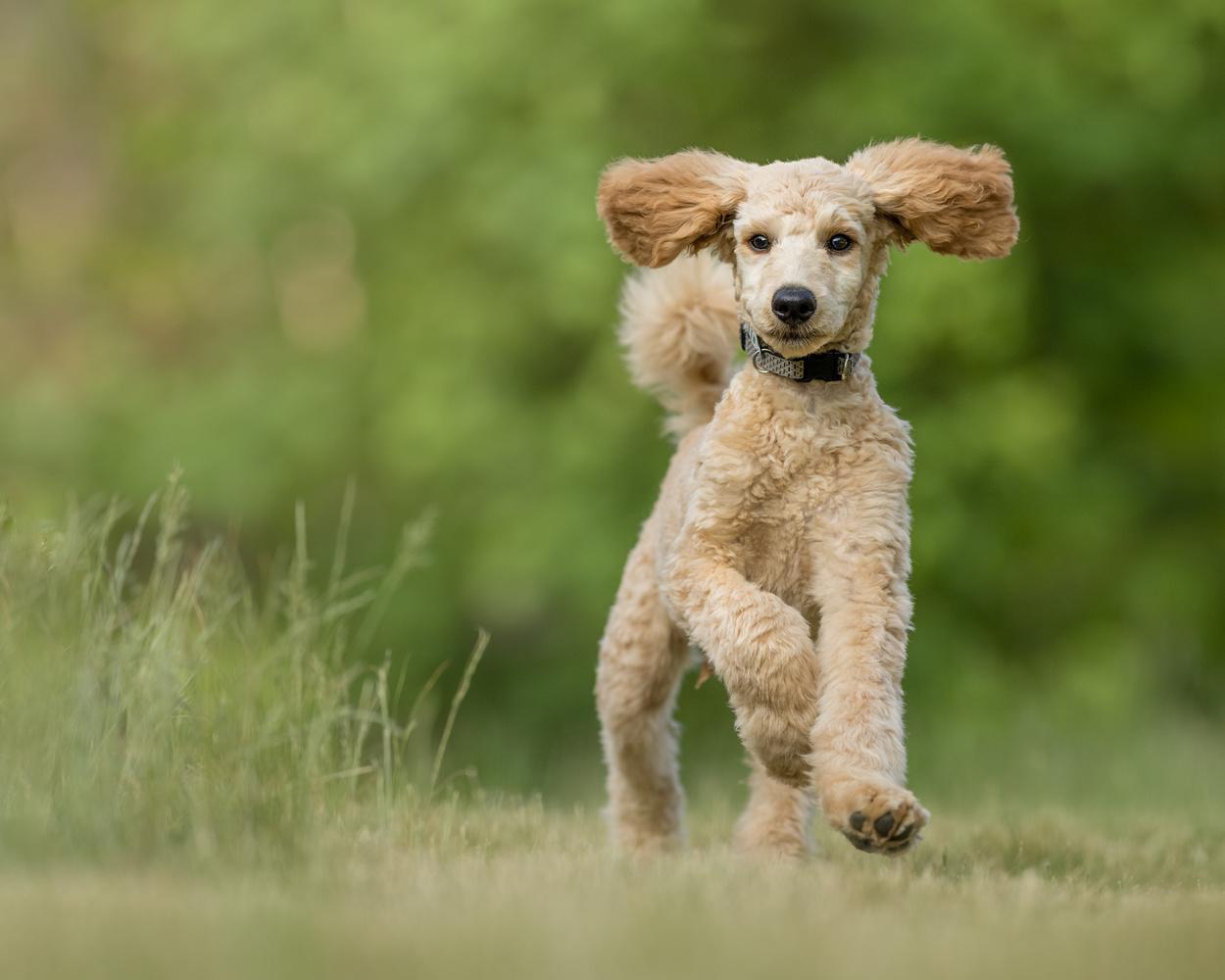 Poodle by Skyler Ewing