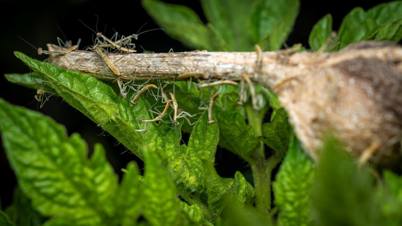 Praying mantis hatching from egg by Skyler Ewing