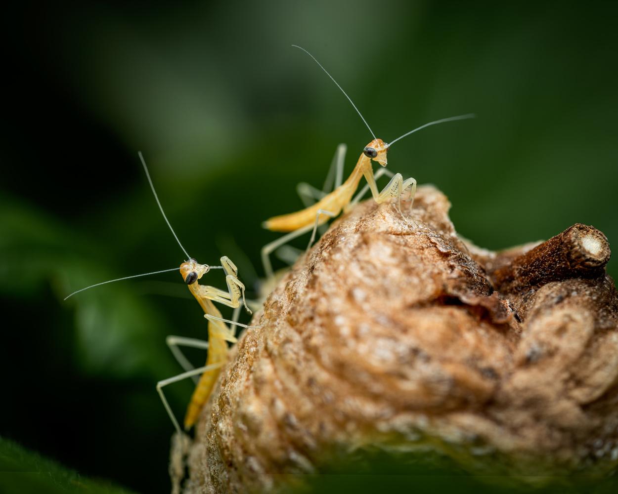 Praying mantis hatching by Skyler Ewing
