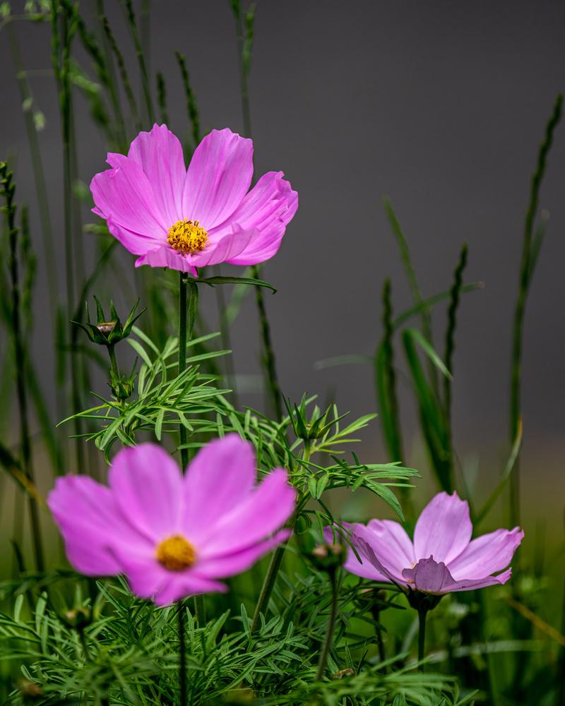 Cosmos flowers by Skyler Ewing