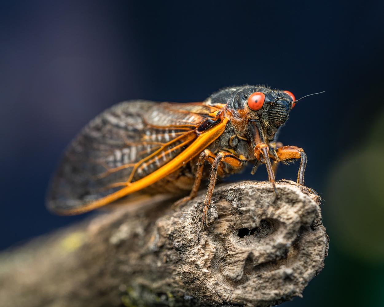 Cicada by Skyler Ewing