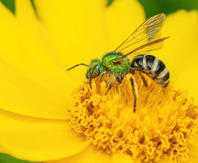 Green bee by Skyler Ewing