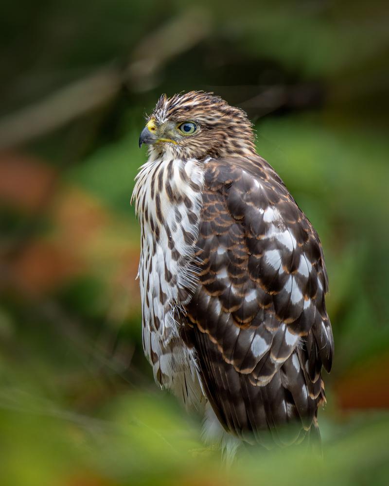 Hawk by Skyler Ewing