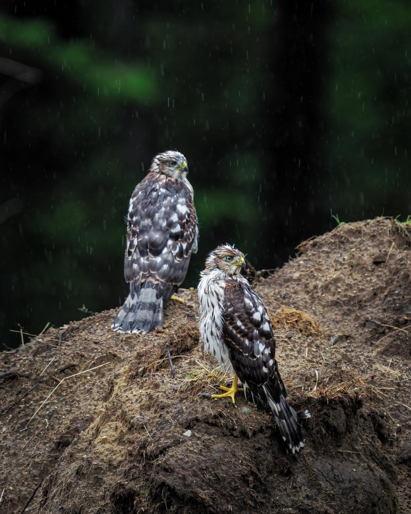 Hawks in the rain by Skyler Ewing