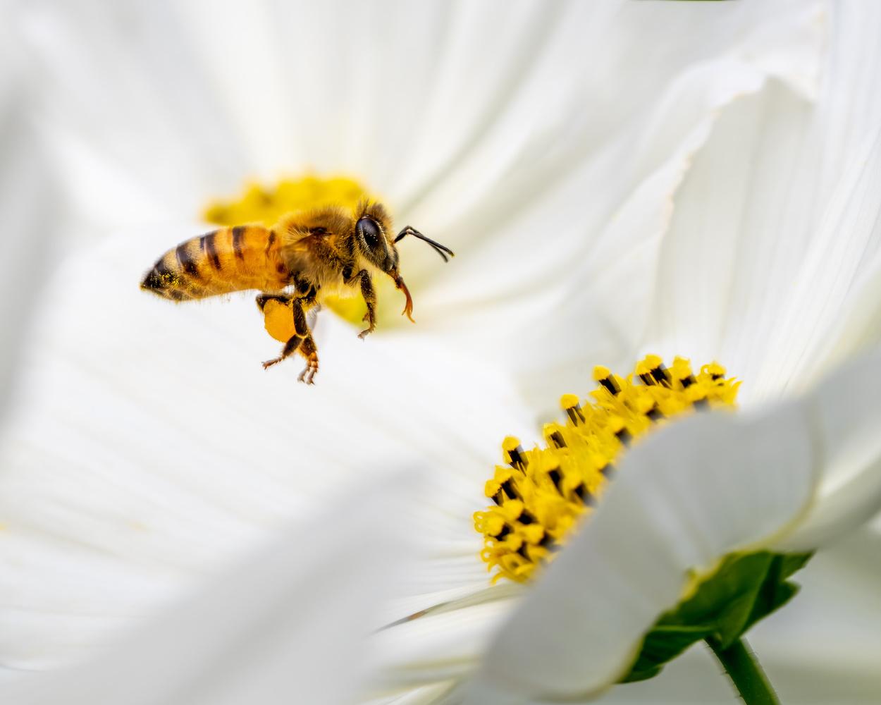 Bee mid flight by Skyler Ewing