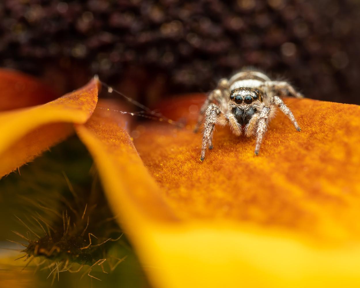Jumping spider by Skyler Ewing