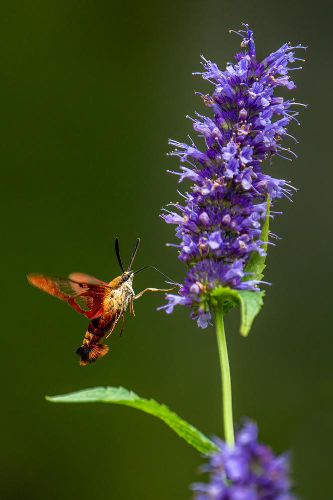 Hummingbird moth by Skyler Ewing