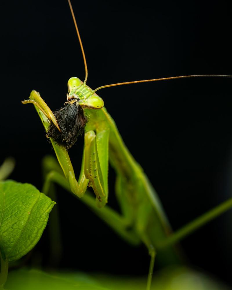 Praying mantis eating a spider by Skyler Ewing