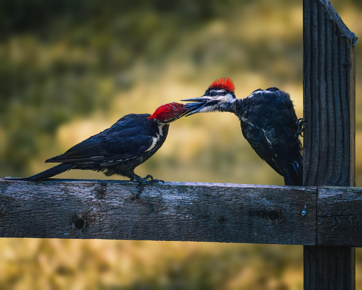 Pileated woodpecker by Skyler Ewing