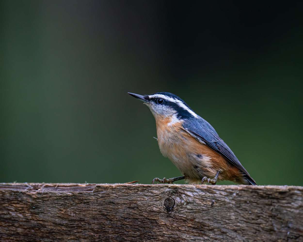 Nuthatches by Skyler Ewing