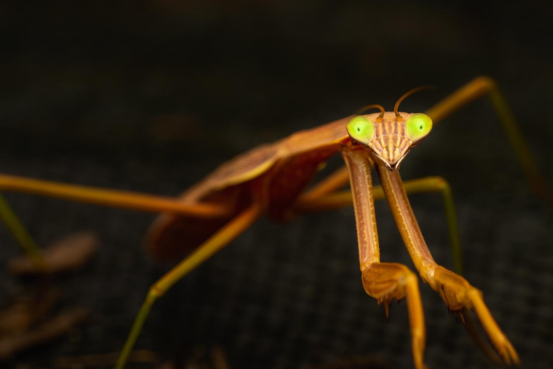 Praying mantis by Skyler Ewing