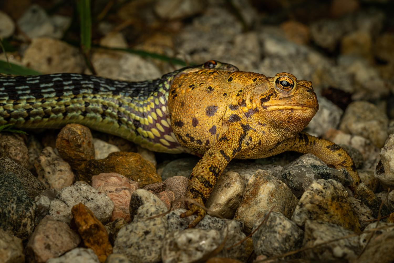 Snake eating a frog by Skyler Ewing