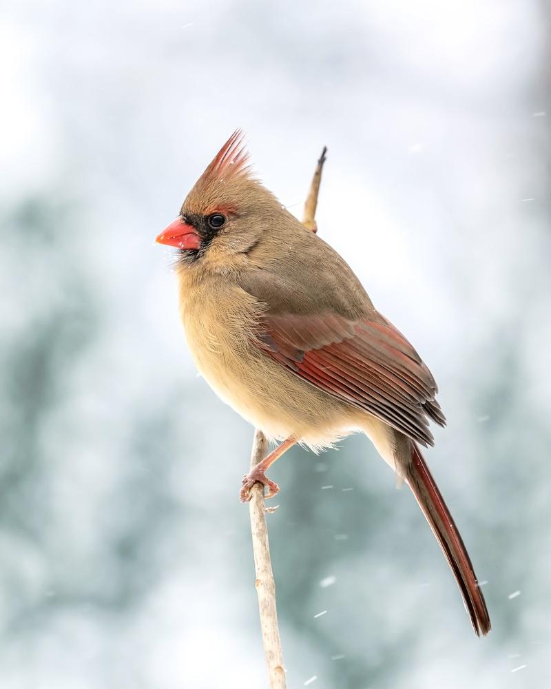 Cardinal by Skyler Ewing