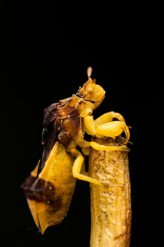 Pennsylvania ambush bug by Skyler Ewing