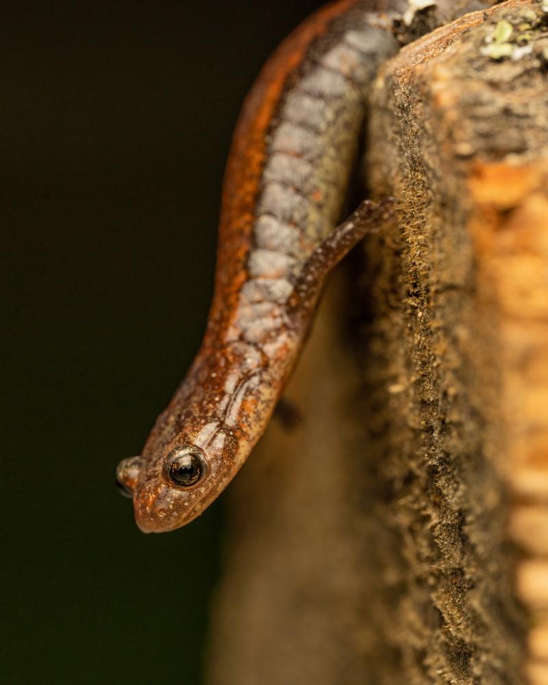 Salamander by Skyler Ewing