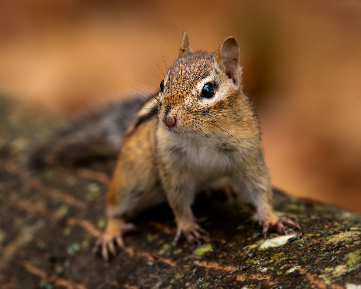 Chipmunk by Skyler Ewing