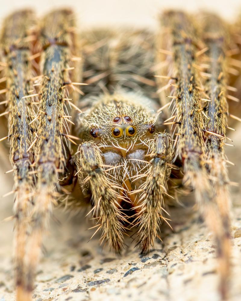 Wolf spider by Skyler Ewing