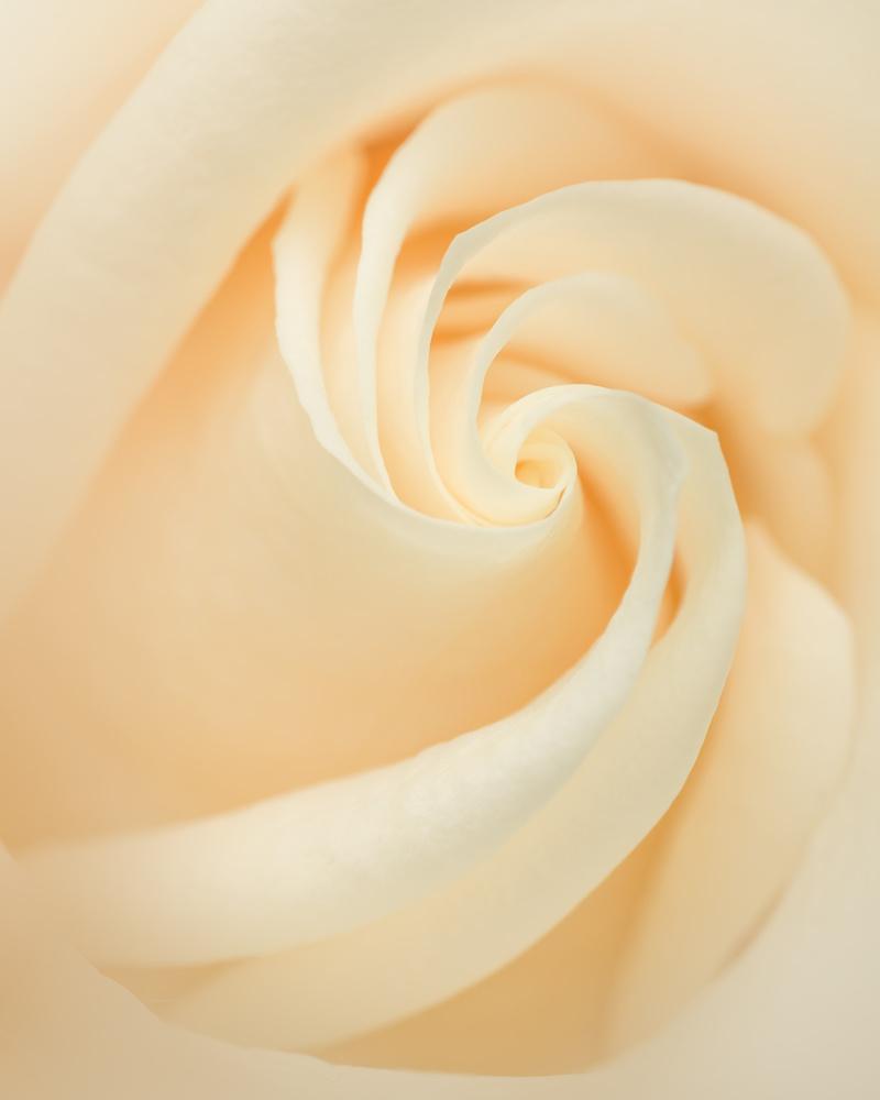White rose by Skyler Ewing