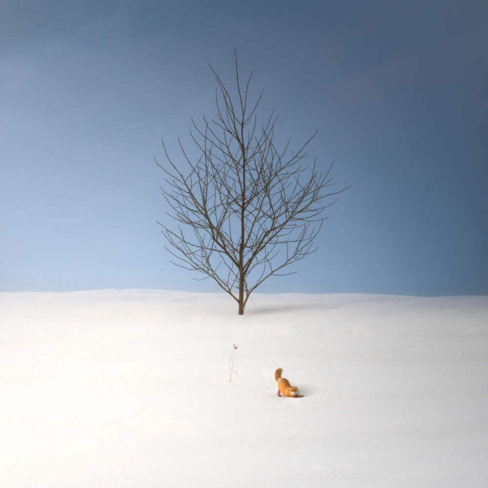 Stretching Ezo red fox by Roy Iwasaki