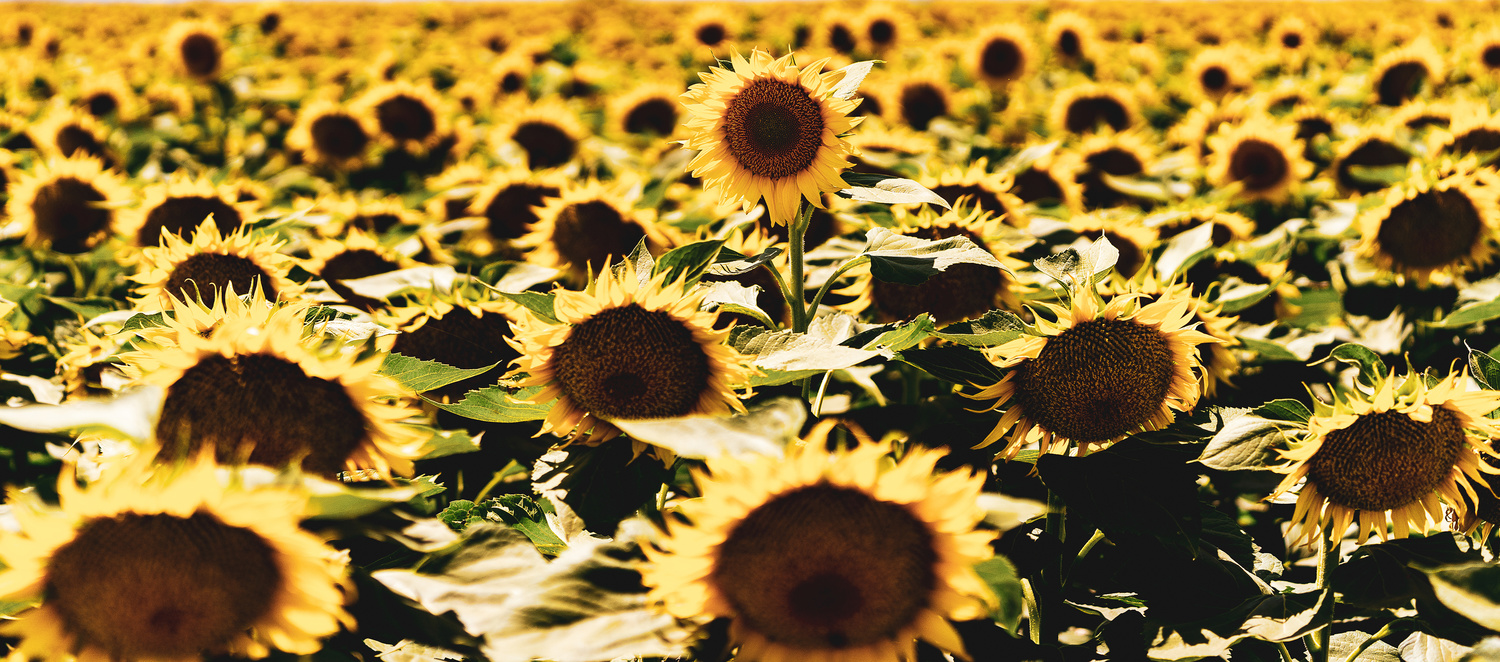 Sunflowers at the Salton Sea, California by Ryan Fulkerson